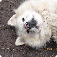 Adopt A Pet :: German - Ashland, OR