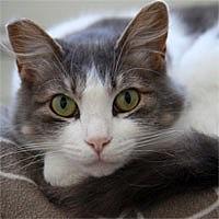 Domestic Mediumhair Cat for adoption in Pacific Grove, California - Sura