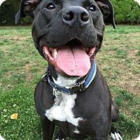 Adopt A Pet :: Sweet Kimber! - North Bend, WA