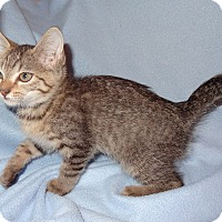 Adopt A Pet :: Bert - Bentonville, AR