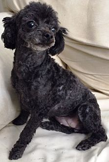 Poodle (Toy or Tea Cup) Dog for adoption in Dover, Massachusetts - Bellinha