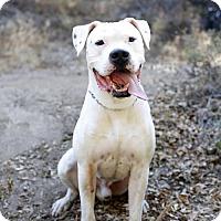 Adopt A Pet :: Dogo - Santa Monica, CA