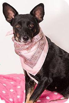 Australian Kelpie Mix Dog for adoption in Canoga Park, California - Bella