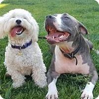 Adopt A Pet :: Gigi - Oakley, CA