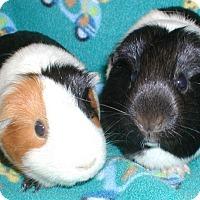 Adopt A Pet :: Sam - Steger, IL