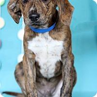Adopt A Pet :: Cowboy - Waldorf, MD