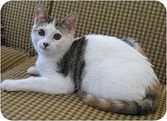 Calico Cat for adoption in Cocoa, Florida - Hazey