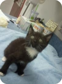 Domestic Shorthair Cat for adoption in Gainesville, Florida - Hazel