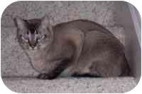 Siamese Cat for adoption in Simms, Texas - ET & Sassy