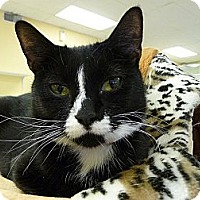 Domestic Shorthair Cat for adoption in Grayslake, Illinois - Dyna