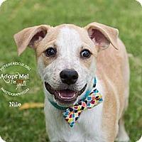 Adopt A Pet :: Nile - Gilbert, AZ