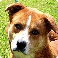 Adopt A Pet :: JIMBO - Glastonbury, CT