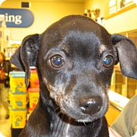 Rat Terrier/Dachshund Mix Dog for adoption in Fresno, California - Tigger