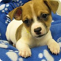 Adopt A Pet :: Biggie Smalls - Groton, MA