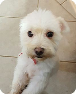 Maltese Mix Dog for adoption in Troy, Michigan - Polo