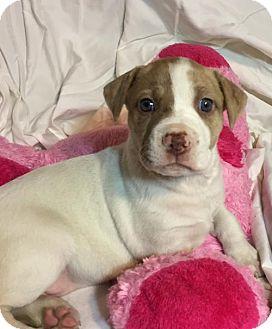 Hound (Unknown Type)/Pit Bull Terrier Mix Puppy for adoption in Hillsboro, Missouri - Lisa