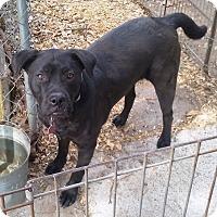 Labrador Retriever/Boxer Mix Dog for adoption in Wallis, Texas - Ripley