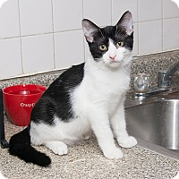 Adopt A Pet :: Baby Oreo - Chicago, IL