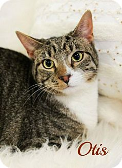 Domestic Shorthair Cat for adoption in Knoxville, Tennessee - Otis  Male