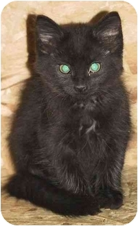 Domestic Mediumhair Kitten for adoption in Strathmore, Alberta - Whiskers