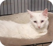 Domestic Longhair Cat for adoption in Anchorage, Alaska - Frankie