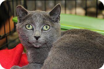 Russian Blue Kitten for adoption in Santa Monica, California - Wendal