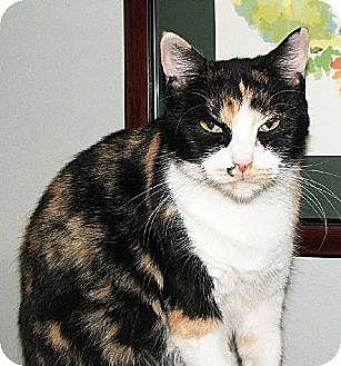Calico Cat for adoption in Atlanta, Georgia - Atlanta
