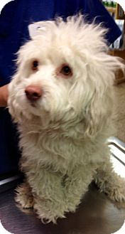 Havanese/Poodle (Miniature) Mix Puppy for adoption in Los Angeles, California - Sawyer