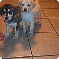Adopt A Pet :: BJ - Morgantown, WV