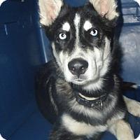 Adopt A Pet :: Loki - Ashland, OR