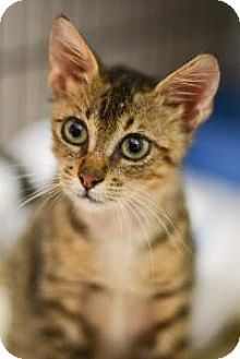 Domestic Shorthair Cat for adoption in New Orleans, Louisiana - Simba