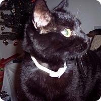 Adopt A Pet :: Sami - Laguna Woods, CA