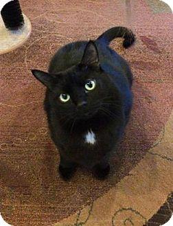 Domestic Shorthair Cat for adoption in Seal Beach, California - Duncan