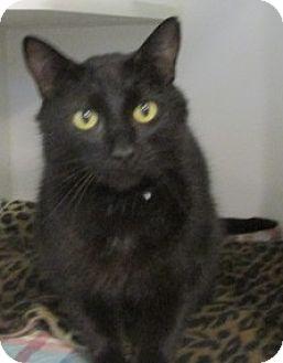 Domestic Shorthair Cat for adoption in Aiken, South Carolina - CEASAR