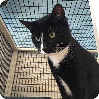 Domestic Shorthair Cat for adoption in Denver, Colorado - Archer