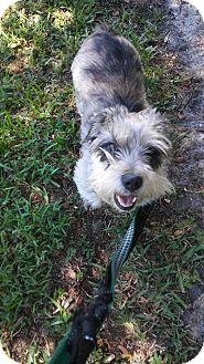 Schnauzer (Standard) Mix Dog for adoption in Ft. Lauderdale, Florida - Maggie