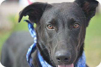 Labrador Retriever Mix Dog for adoption in White Settlement, Texas - Dale