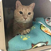 Domestic Mediumhair Cat for adoption in Canfield, Ohio - RON WEASLEY