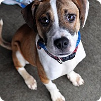 Jack Russell Terrier/Terrier (Unknown Type, Medium) Mix Puppy for adoption in Fairfax Station, Virginia - Sugar Ray