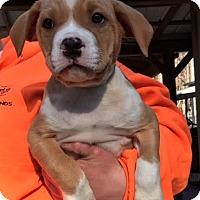 Adopt A Pet :: Dozer - Cashiers, NC