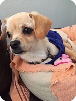Chihuahua/Beagle Mix Puppy for adoption in Santa Ana, California - Paris