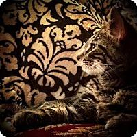Adopt A Pet :: Caprese - Asheville, NC