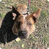 Adopt A Pet :: Ratchet - Wichita Falls, TX