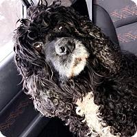 Adopt A Pet :: Paris (COURTESY POST) - Baltimore, MD