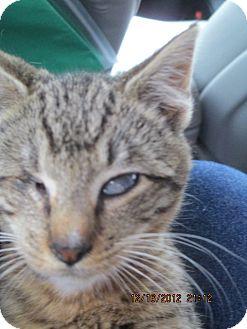Domestic Shorthair Kitten for adoption in Riverside, Rhode Island - Nicholas