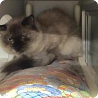 Himalayan Cat for adoption in Baltimore, Maryland - Iman - Pending Medical