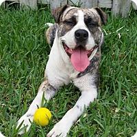 Adopt A Pet :: Gucci - Ocean Ridge, FL