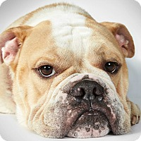 Adopt A Pet :: Bill - New York, NY