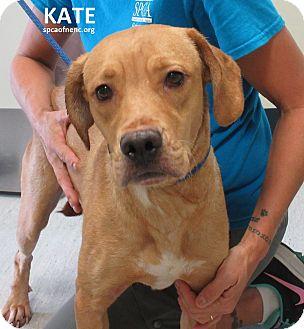 Labrador Retriever Mix Dog for adoption in Elizabeth City, North Carolina - Kate