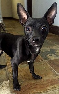 Chihuahua/Terrier (Unknown Type, Medium) Mix Dog for adoption in Staten Island, New York - Ringo